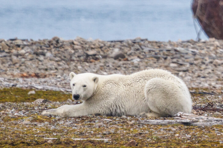 Медведь на острове Новая Земля. Фото Nixette