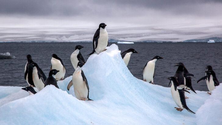 Пингвины Адели. Фото Jason Auch