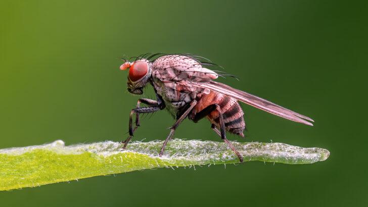 Муха-дрозофила. Фото Ermell