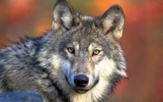 Волк. Фото Gary Kramer