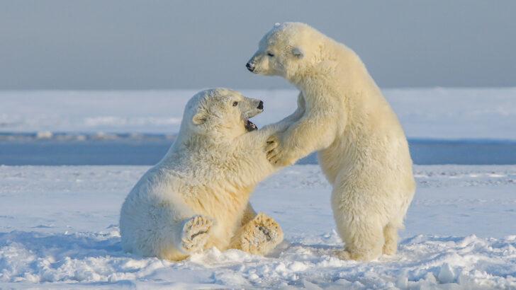 Белые медведи. Фото Hans-Jurgen Mager / Unsplash