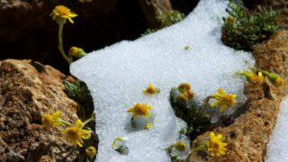 Альпийские цветы подо льдом. Фото McKay Savage