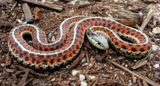 Ядовитая змея. Фото Steve Jurvetson (CC BY 2.0)