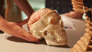 Череп человека с мозгом. Фото Ars Electronica (CC BY-NC-ND 2.0)