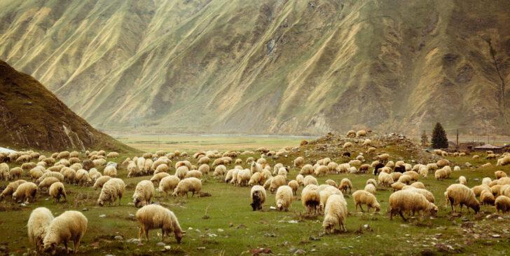 Дикие овцы. Фото Yevgeniy Shpika (CC BY 2.0)