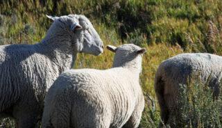 Дикие овцы. Фото Michele Truex (CC BY-NC 2.0)