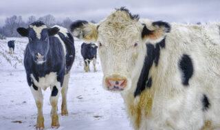 Коровы зимой. Фото Elvis Kennedy (CC BY-NC-ND 2.0)
