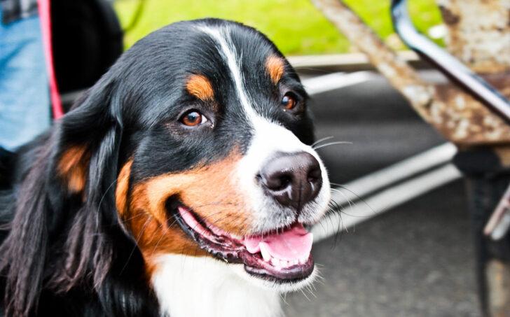Собака. Фото Rhys A. (CC BY 2.0)