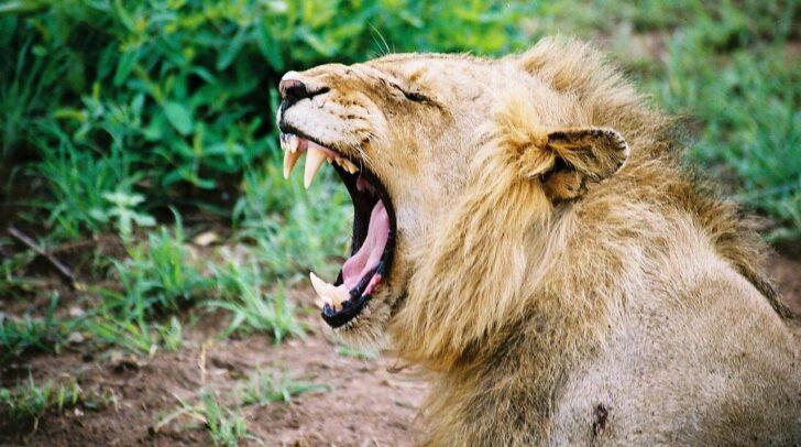 Зевающий лев. Фото Pascal Parent (CC BY-NC-ND 2.0)